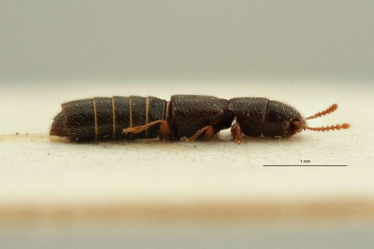 Holotrochomorphus straeleni pt L ZS PMax Scaled.jpeg