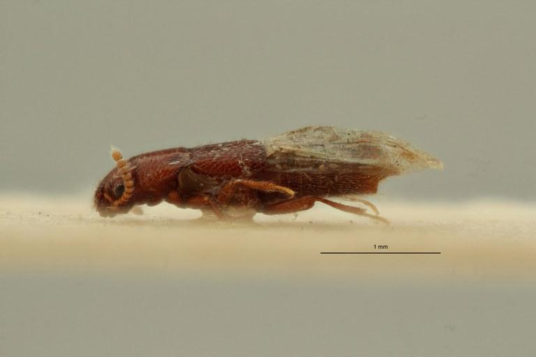 Holotrochopsis hulstaerti pt L ZS PMax Scaled.jpeg