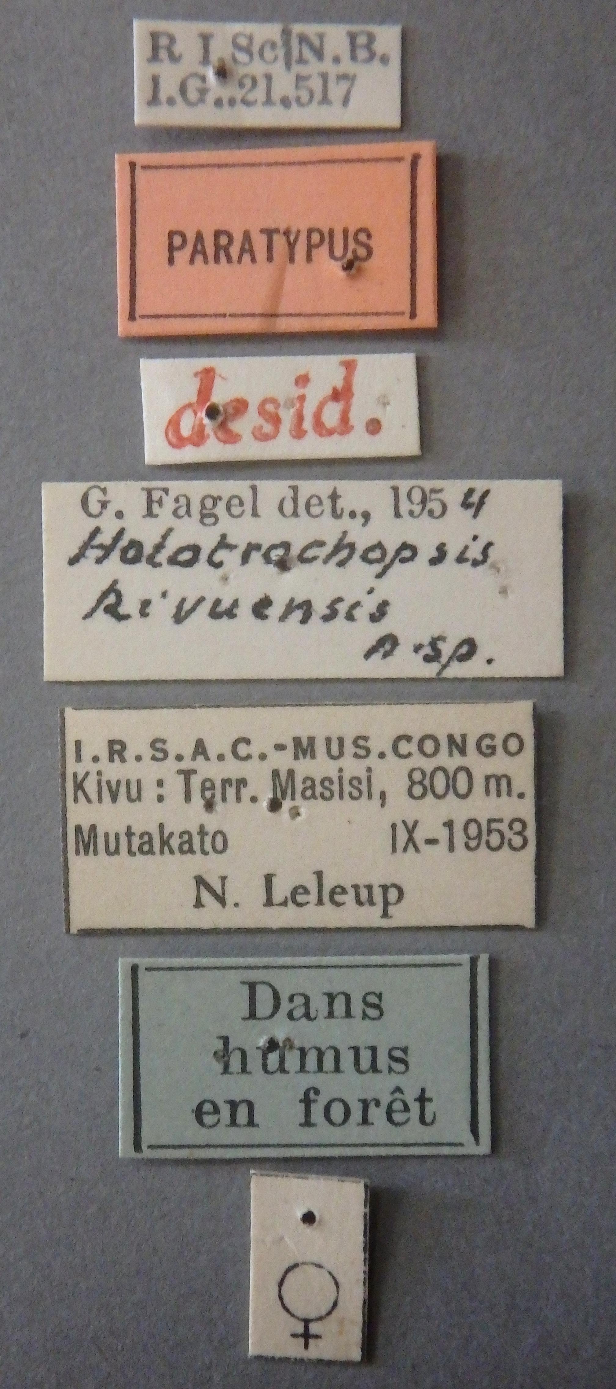 Holotrochopsis kivuensis pt Lb.JPG