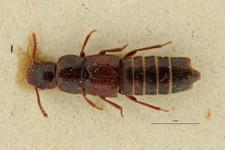 Holotrochopsis kivuensis pt D ZS PMax Scaled.jpeg