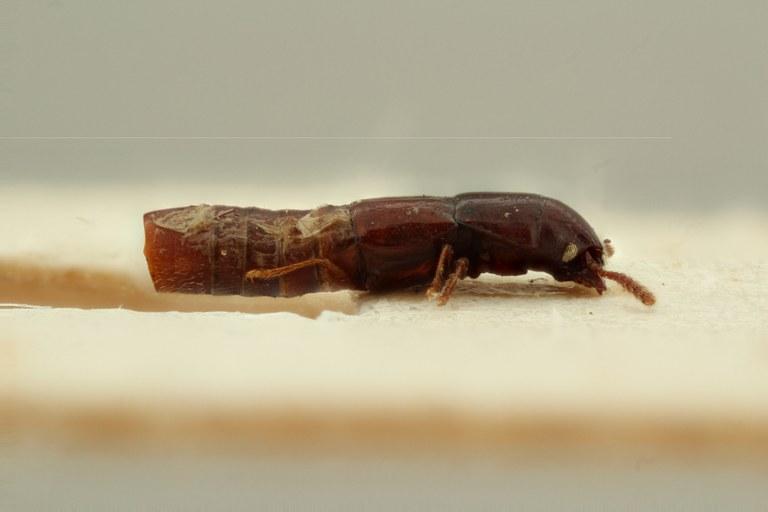 Holotrochus africanus t L ZS PMax Scaled.jpeg