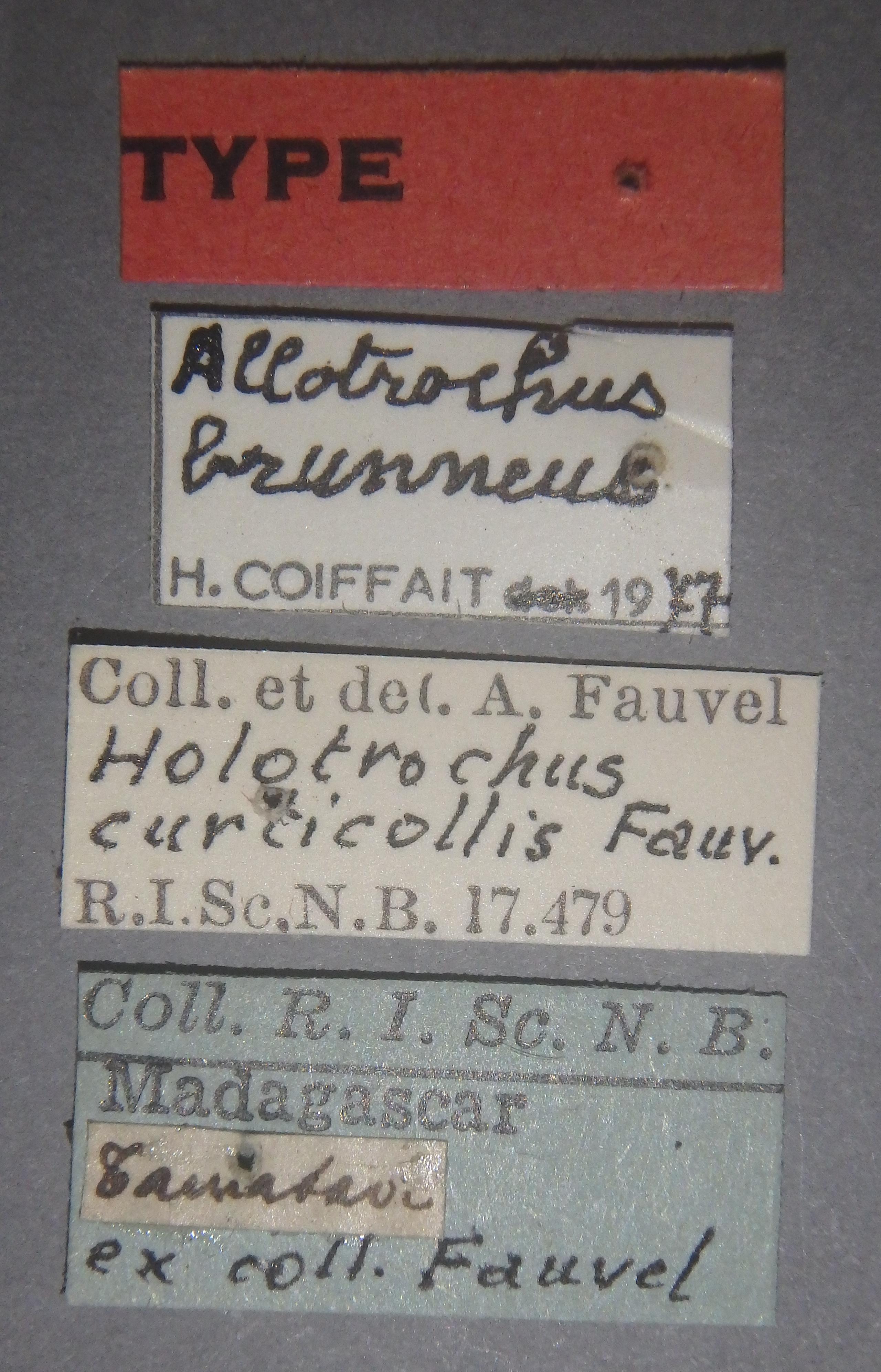 Holotrochus curticollis t Lb.JPG