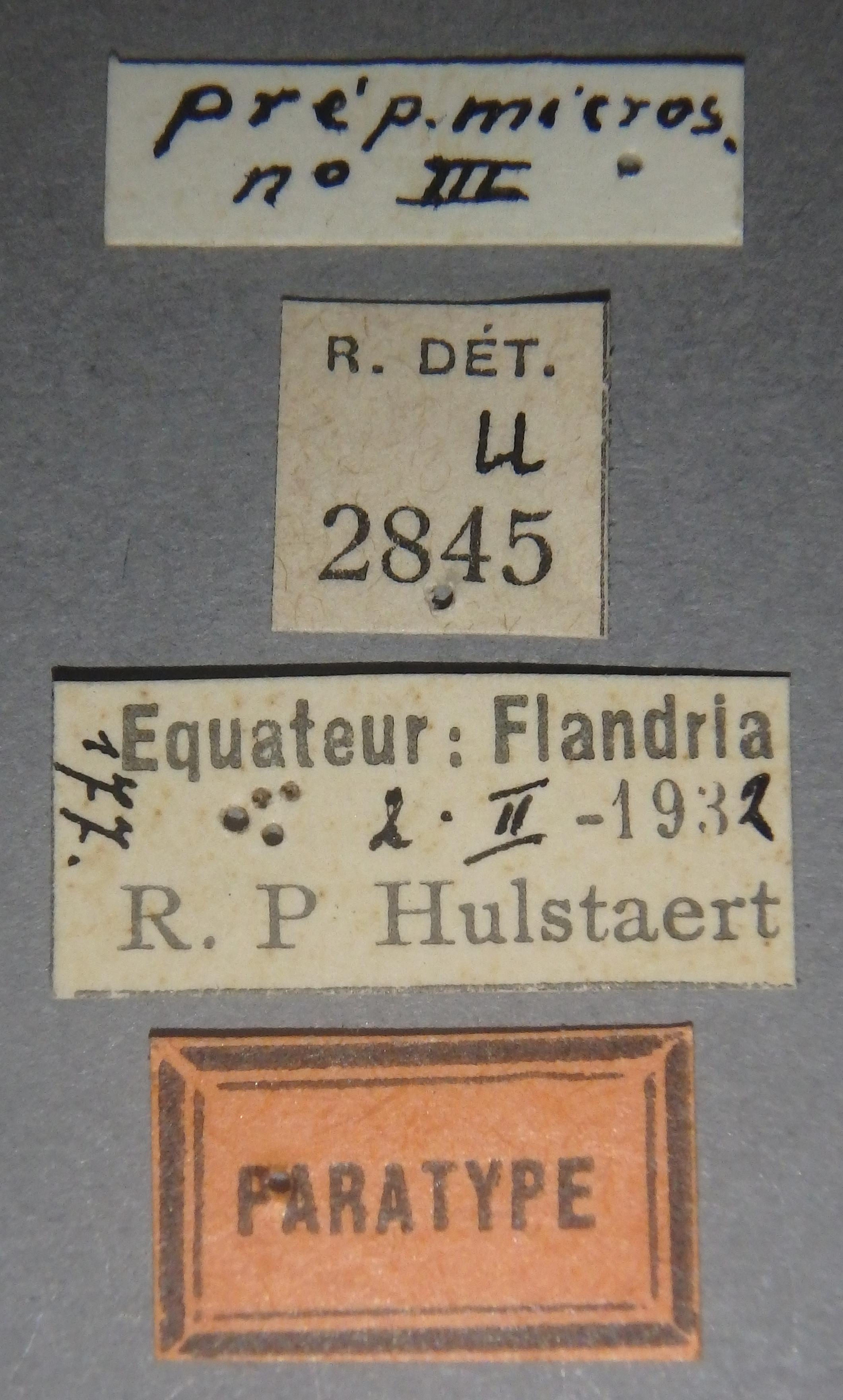 Holotrochus hulstaerti pt Lb.JPG