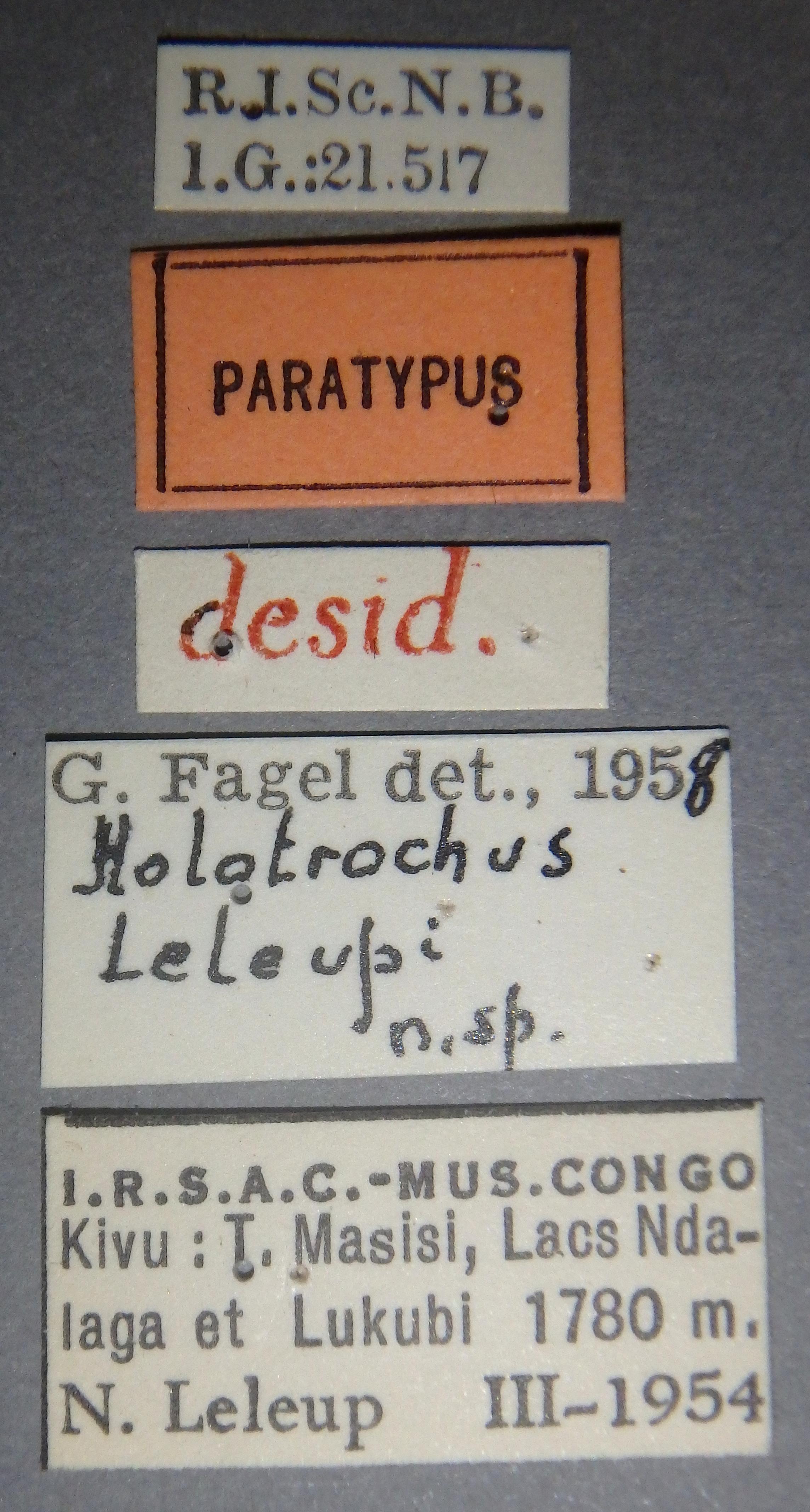 Holotrochus leleupi pt Lb.JPG