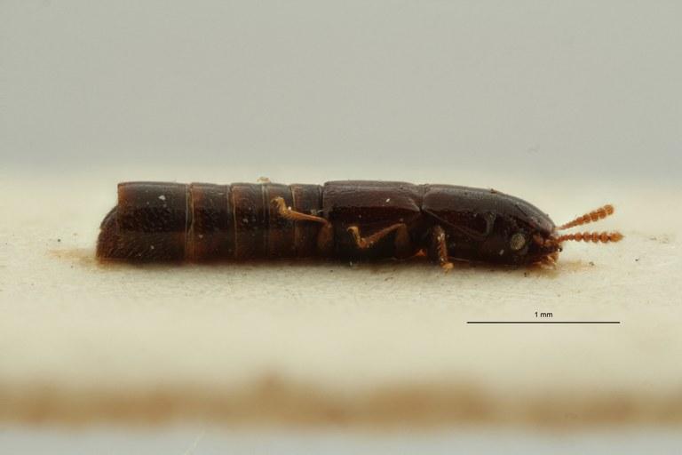 Holotrochus longipennis pt L ZS PMax Scaled.jpeg