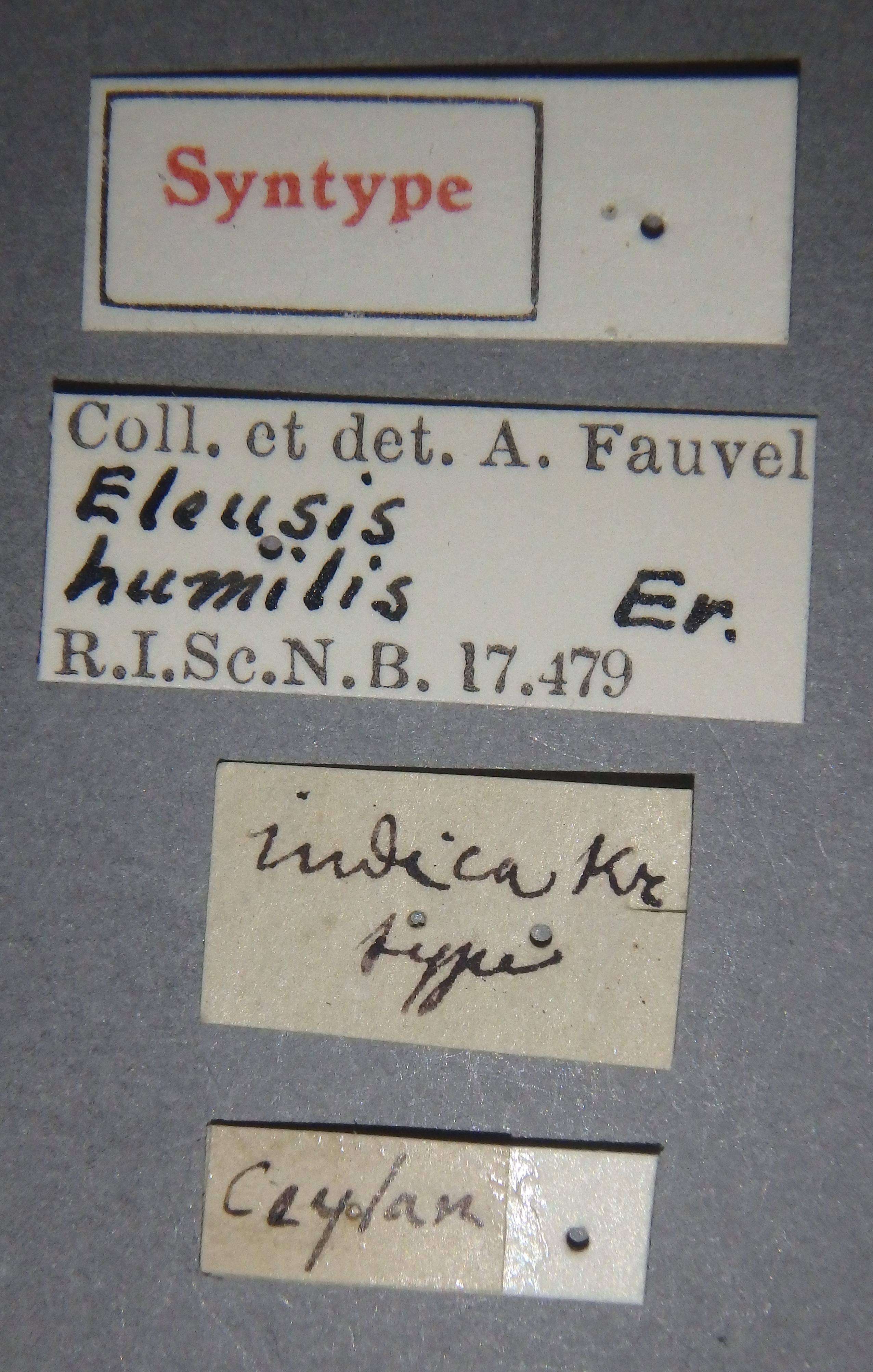 Isomalus indica st Lb.JPG