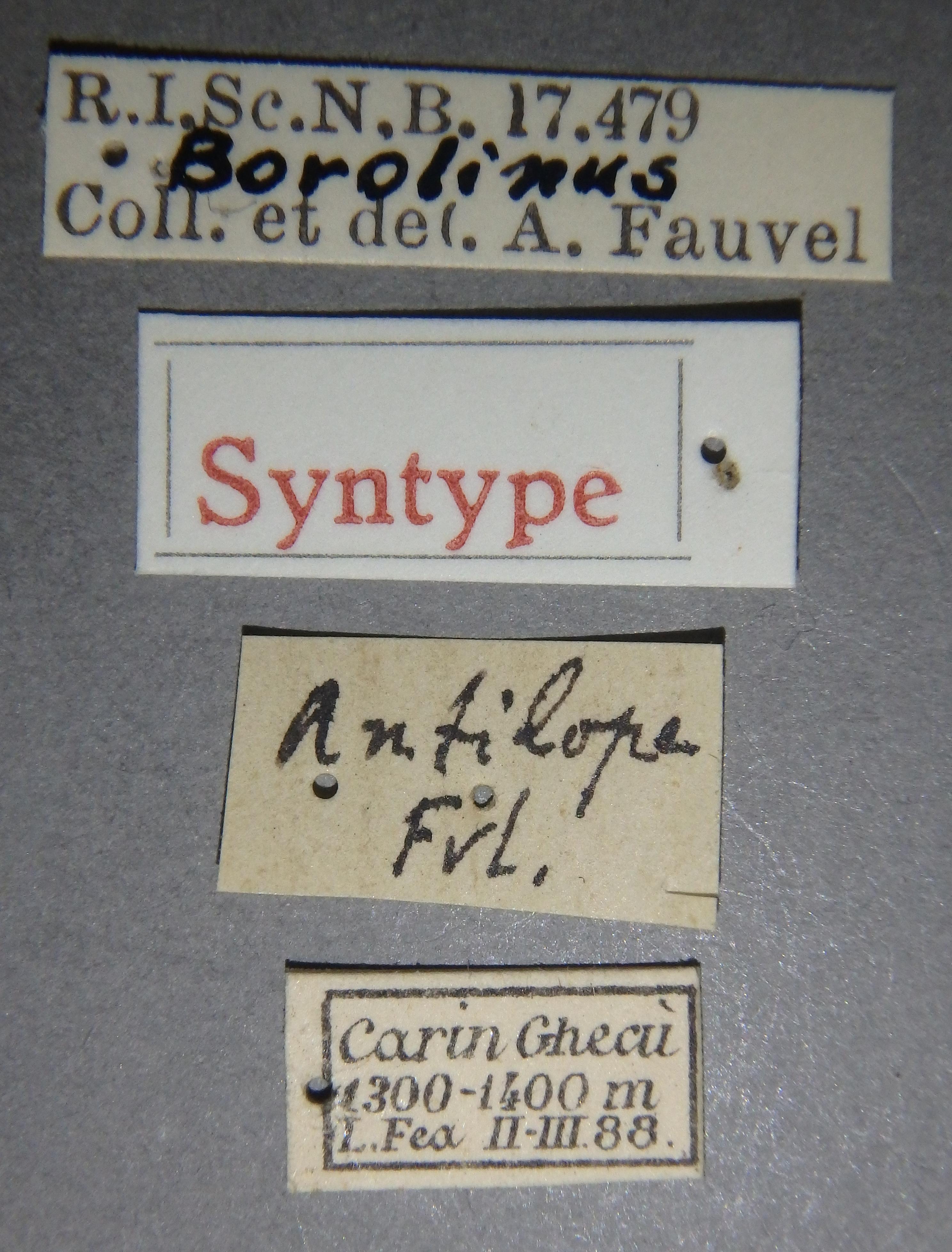 Borolinus antilope st1 Lb.JPG
