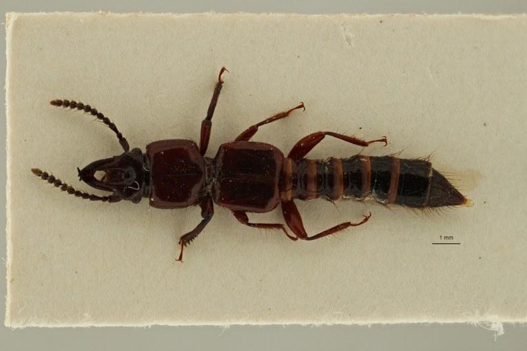 Borolinus antilope st1 D ZS PMax Scaled.jpeg