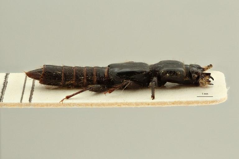 Leptochirus (Priochirus) bipunctatus variety nigrita st L ZS PMax Scaled.jpeg