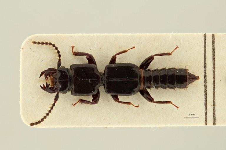 Leptochirus (Tropiochirus) truncatus plt D ZS PMax Scaled.jpeg