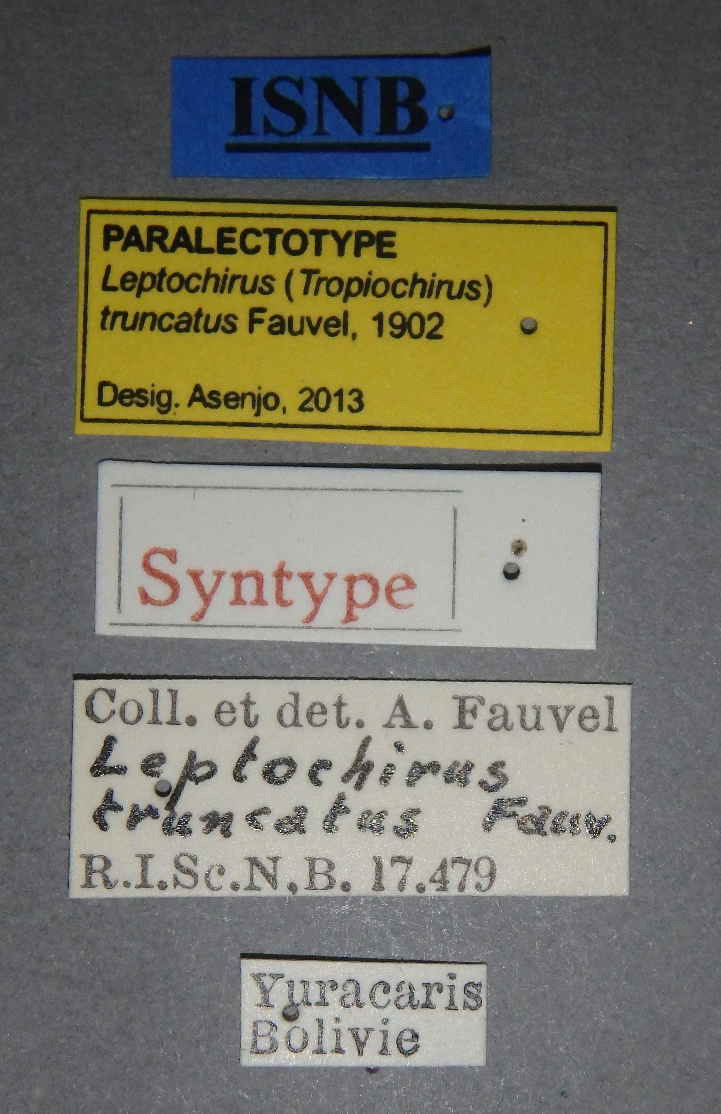 Leptochirus (Tropiochirus) truncatus plt Lb.JPG