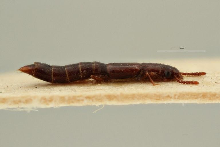 Lispinus sidneensis st L ZS PMax Scaled.jpeg