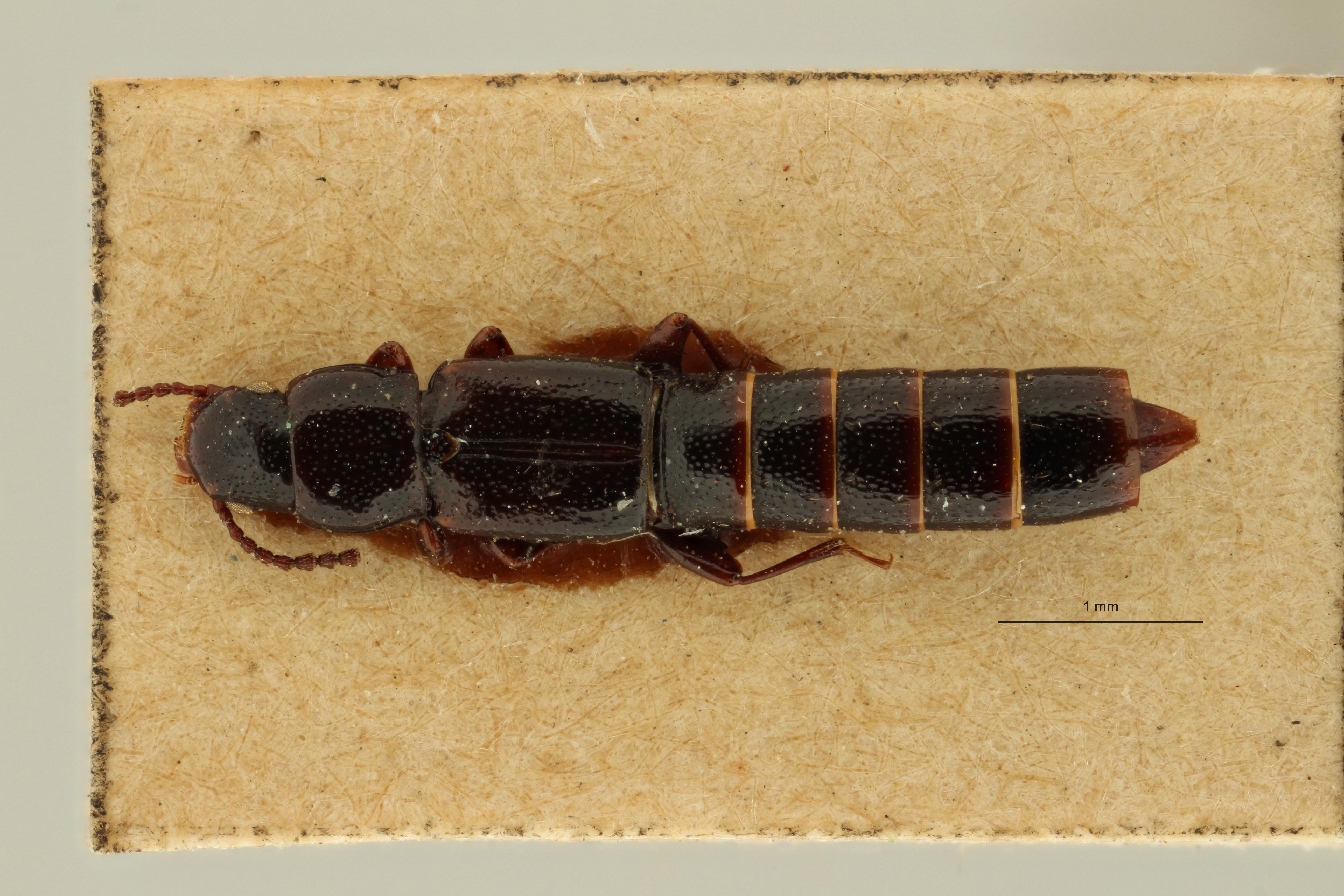 Lispinus acicularis t D ZS PMax Scaled.jpeg