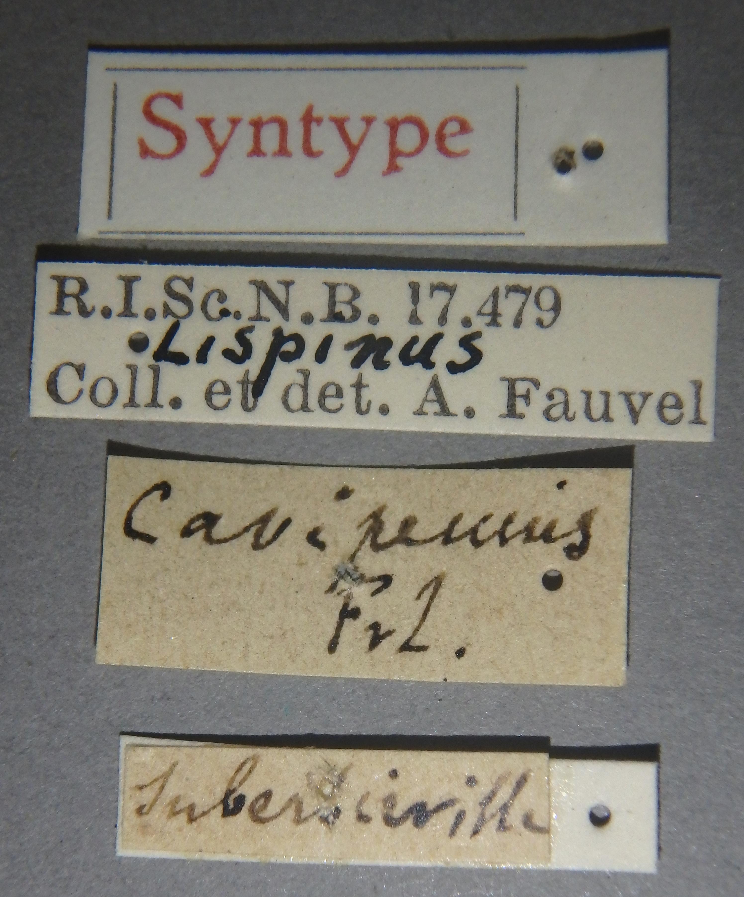 Lispinus cavipennis st Lb.JPG