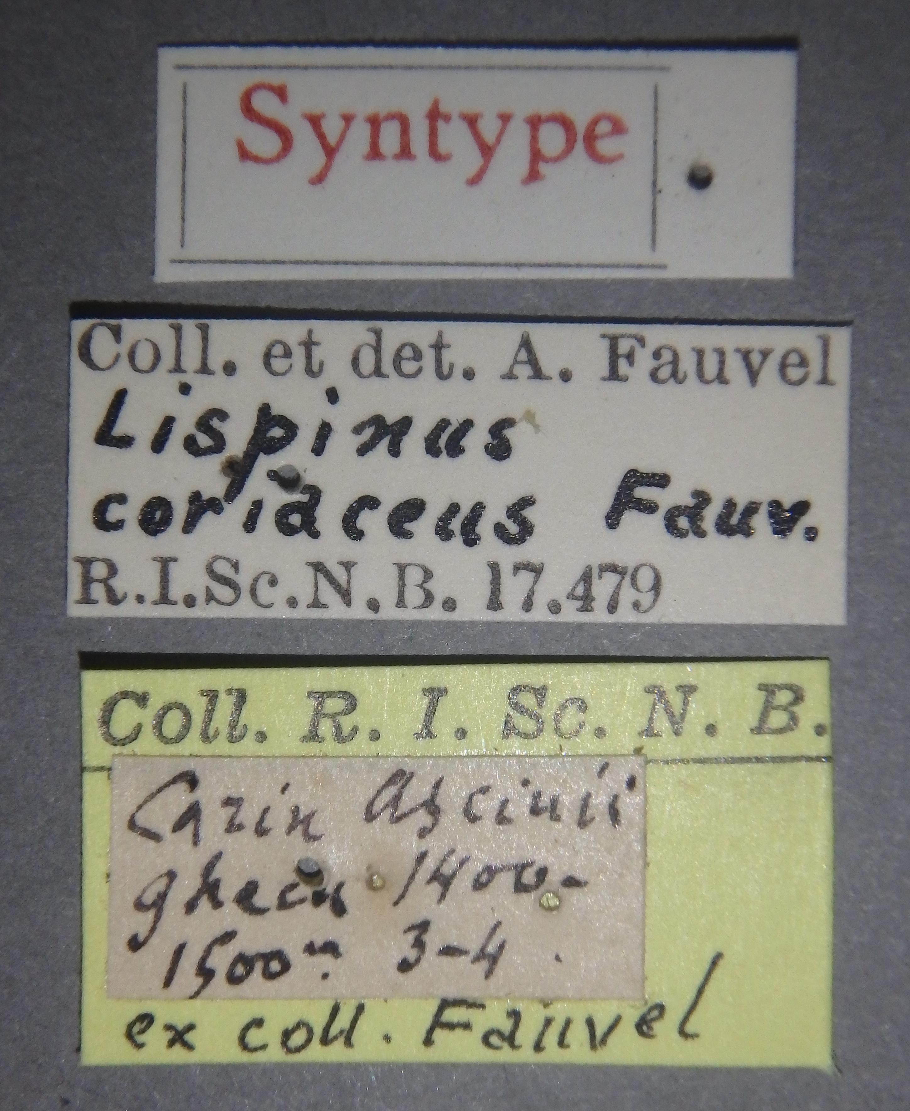 Lispinus coriaceus st Lb.JPG