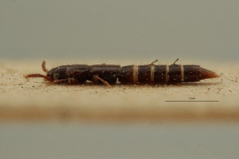 Lispinus foveatus st L ZS PMax Scaled.jpeg