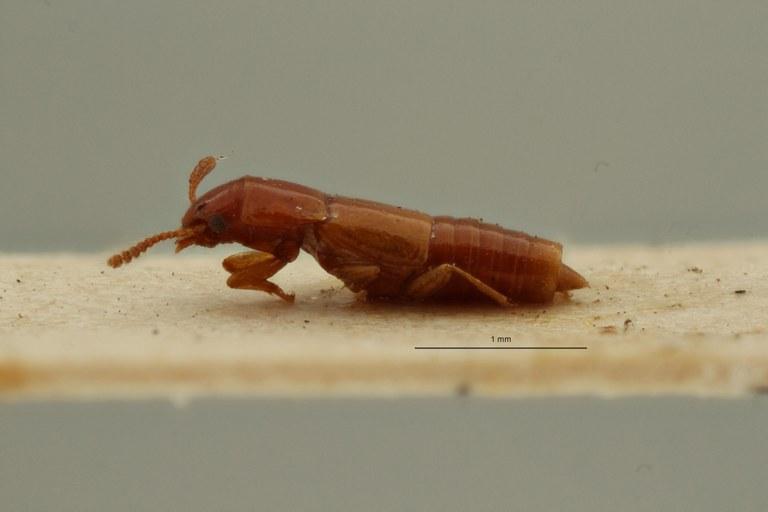 Lispinus holosinus t L ZS PMax Scaled.jpeg