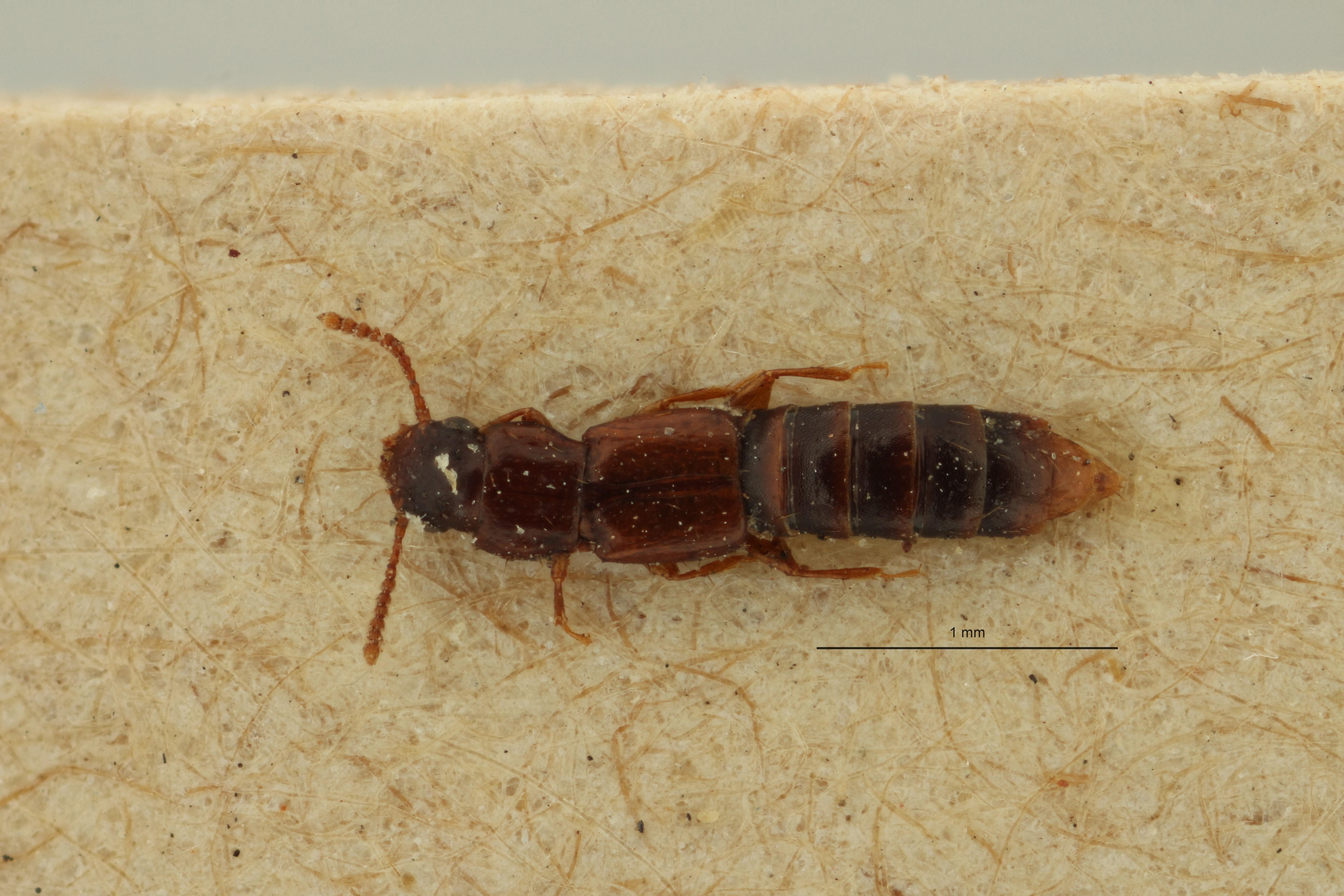 Lispinus impressithorax st D ZS PMax Scaled.jpeg