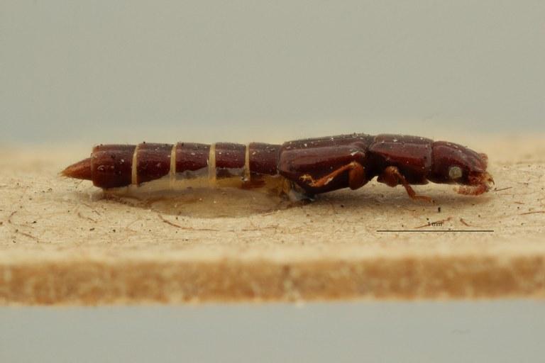 Lispinus insignicollis st L ZS PMax Scaled.jpeg
