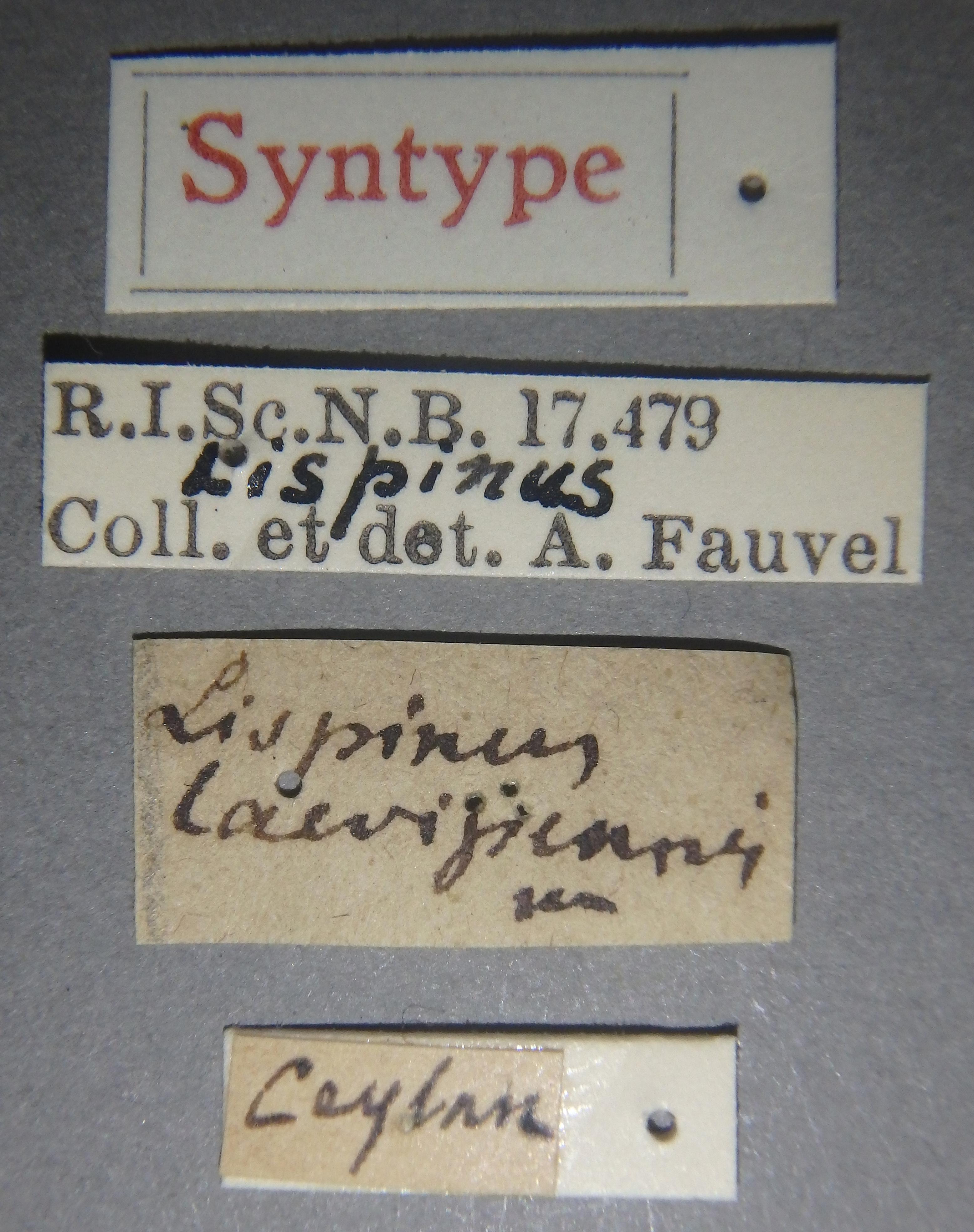 Lispinus laevipennis st Lb.JPG