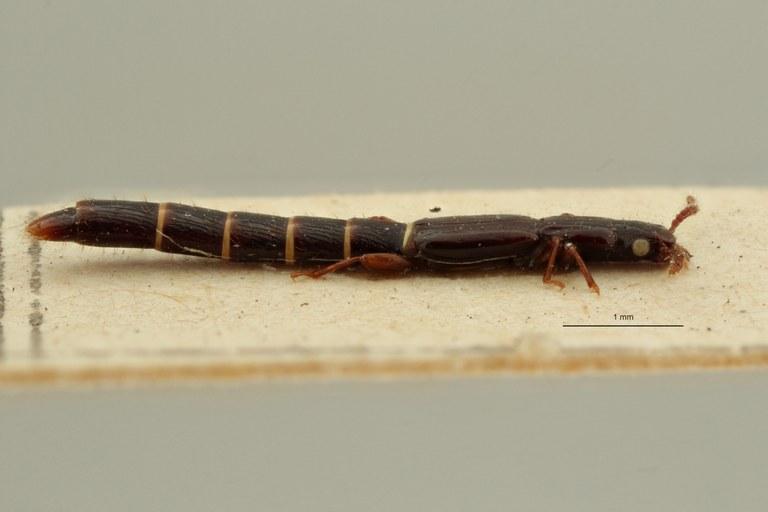 Lispinus macropterus t L ZS PMax Scaled.jpeg