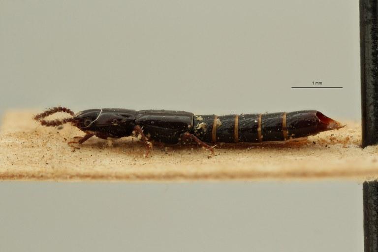 Lispinus quadrillum st L ZS PMax Scaled.jpeg