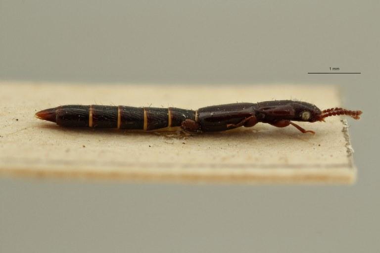 Lispinus quadrinotatus st L ZS PMax Scaled.jpeg