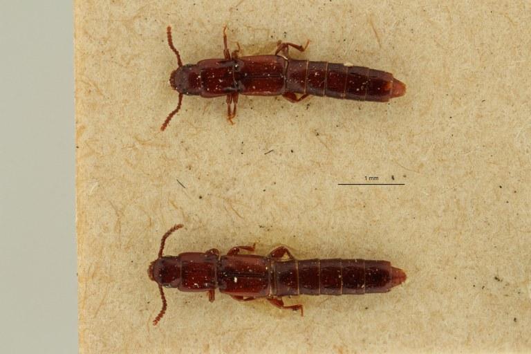 Lispinus rufulus st DG ZS PMax Scaled.jpeg