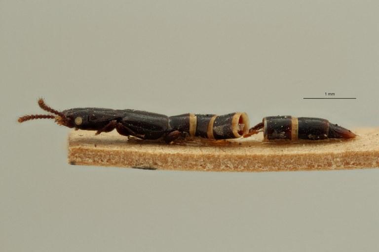 Lispinus strigiventris st L ZS PMax Scaled.jpeg