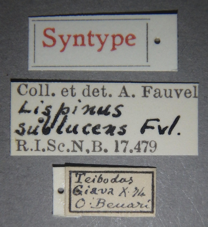 Lispinus sublucens st Lb.JPG