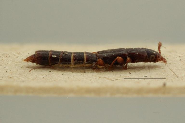 Lispinus tenuicornis st L ZS PMax Scaled.jpeg