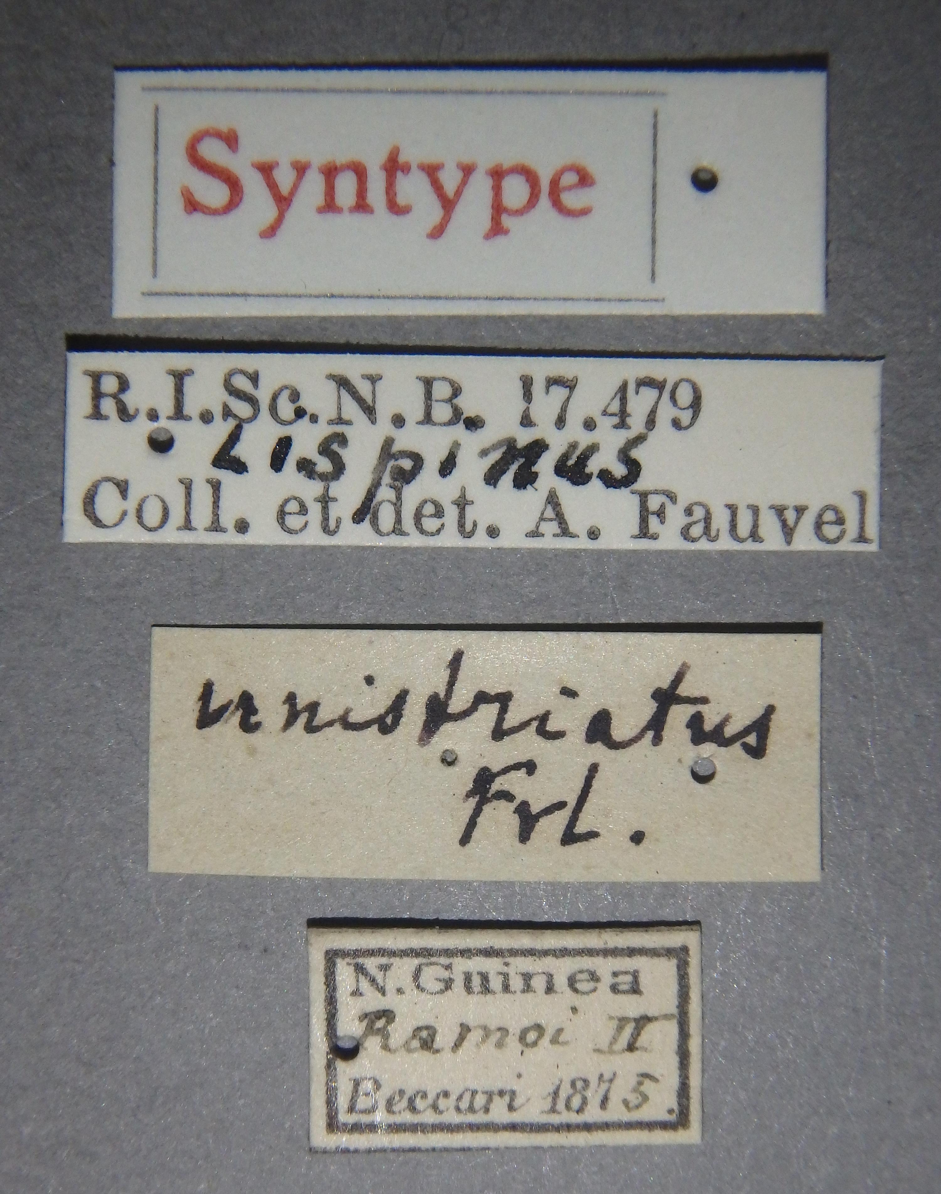 Lispinus unistriatus st Lb.JPG