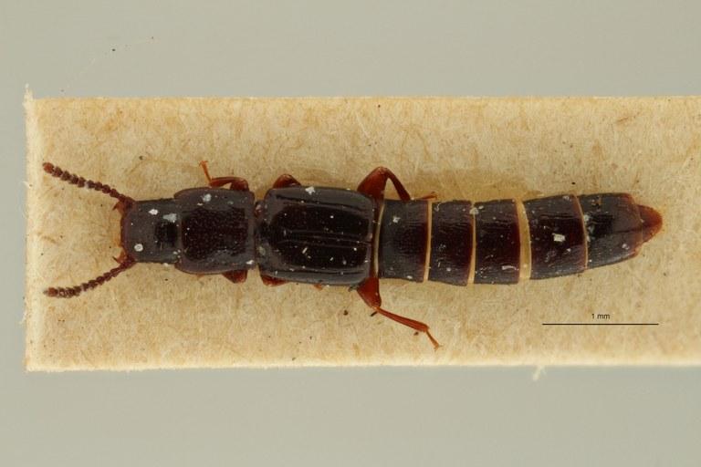 Lispinus validicornis st D ZS PMax Scaled.jpeg
