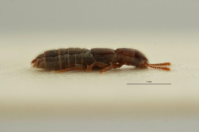 Mimogonia subopaca pt L ZS PMax Scaled.jpeg