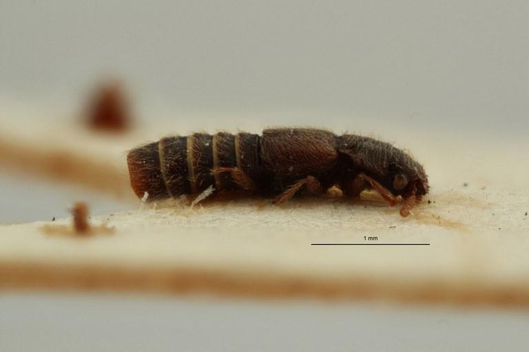 Mimogonus crebrepunctatus pt L ZS PMax Scaled.jpeg