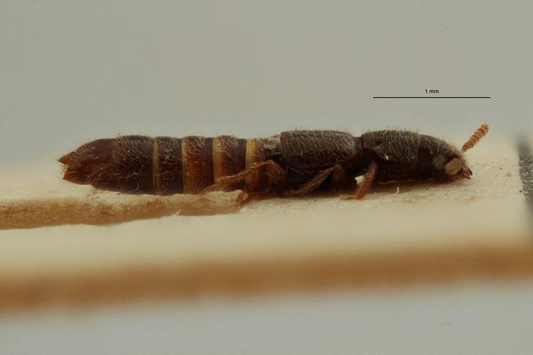 Mimogonus invisus t L ZS PMax Scaled.jpeg
