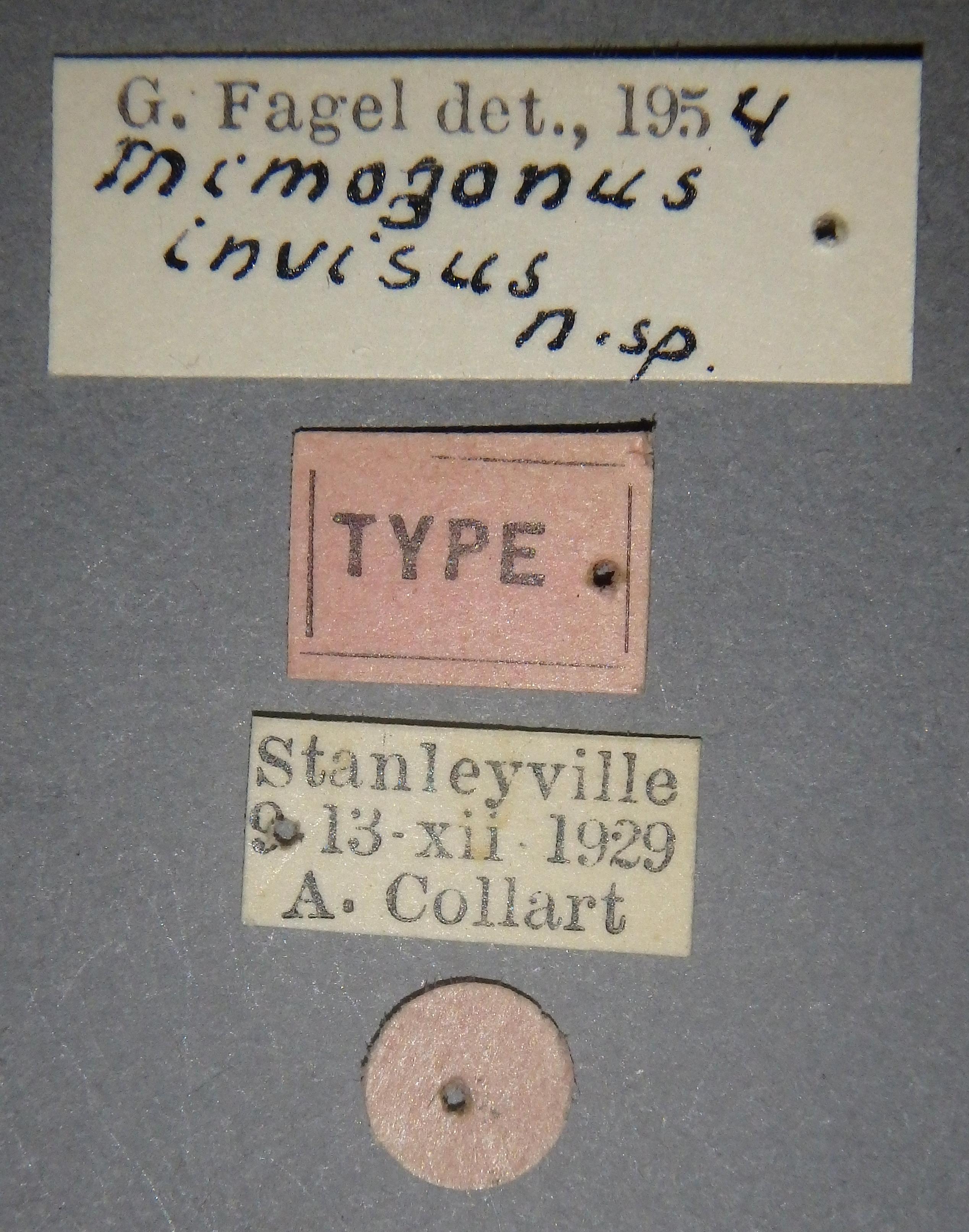Mimogonus invisus t Lb.JPG
