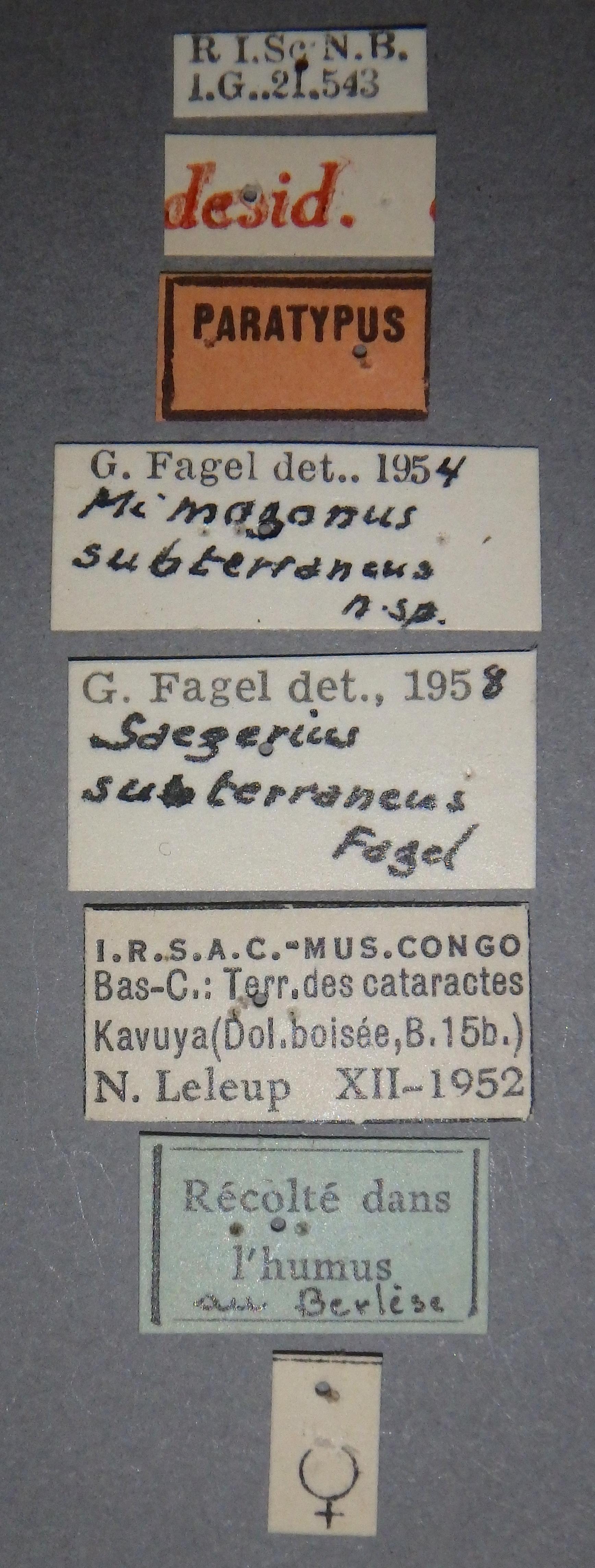 Mimogonus subterraneus pt Lb.JPG