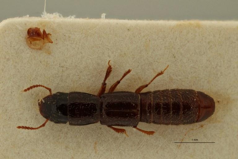 Neosorius angolanus pt D ZS PMax Scaled.jpeg
