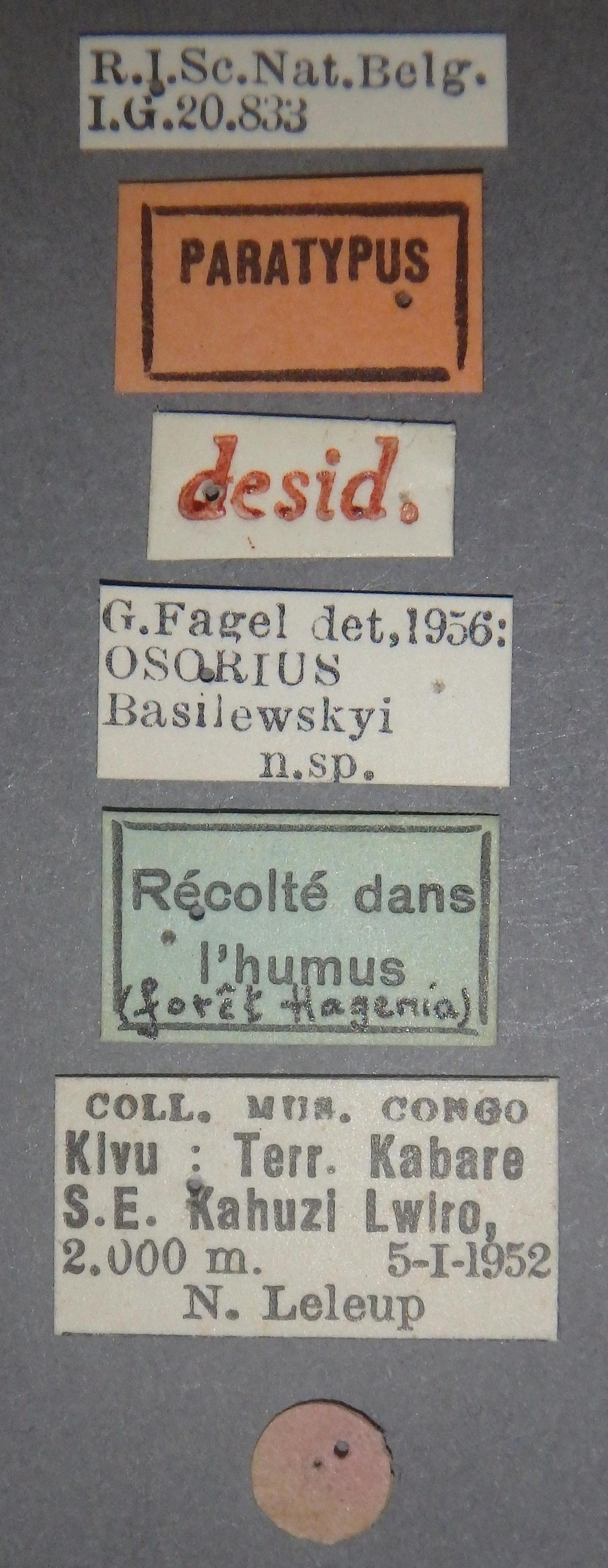 Neosorius basilewskyi pt Lb.JPG