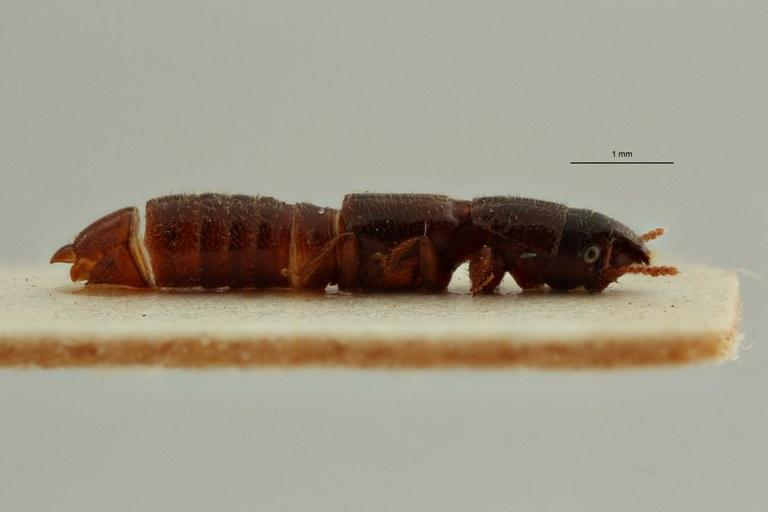 Neosorius biambwensis pt L ZS PMax Scaled.jpeg