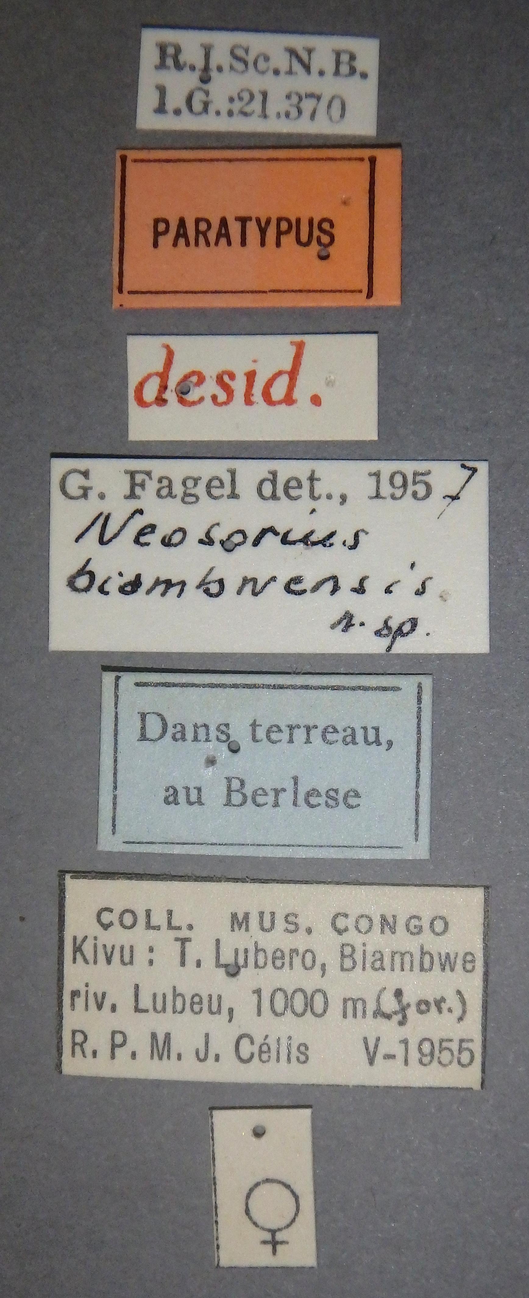 Neosorius biambwensis pt Lb.JPG