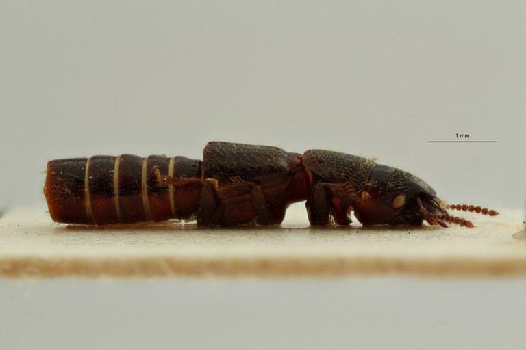 Neosorius fauvelianus t L ZS PMax Scaled.jpeg