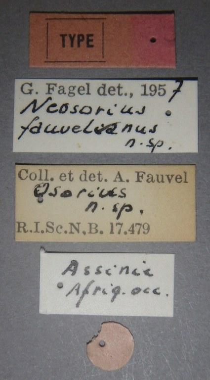 Neosorius fauvelianus t Lb.JPG