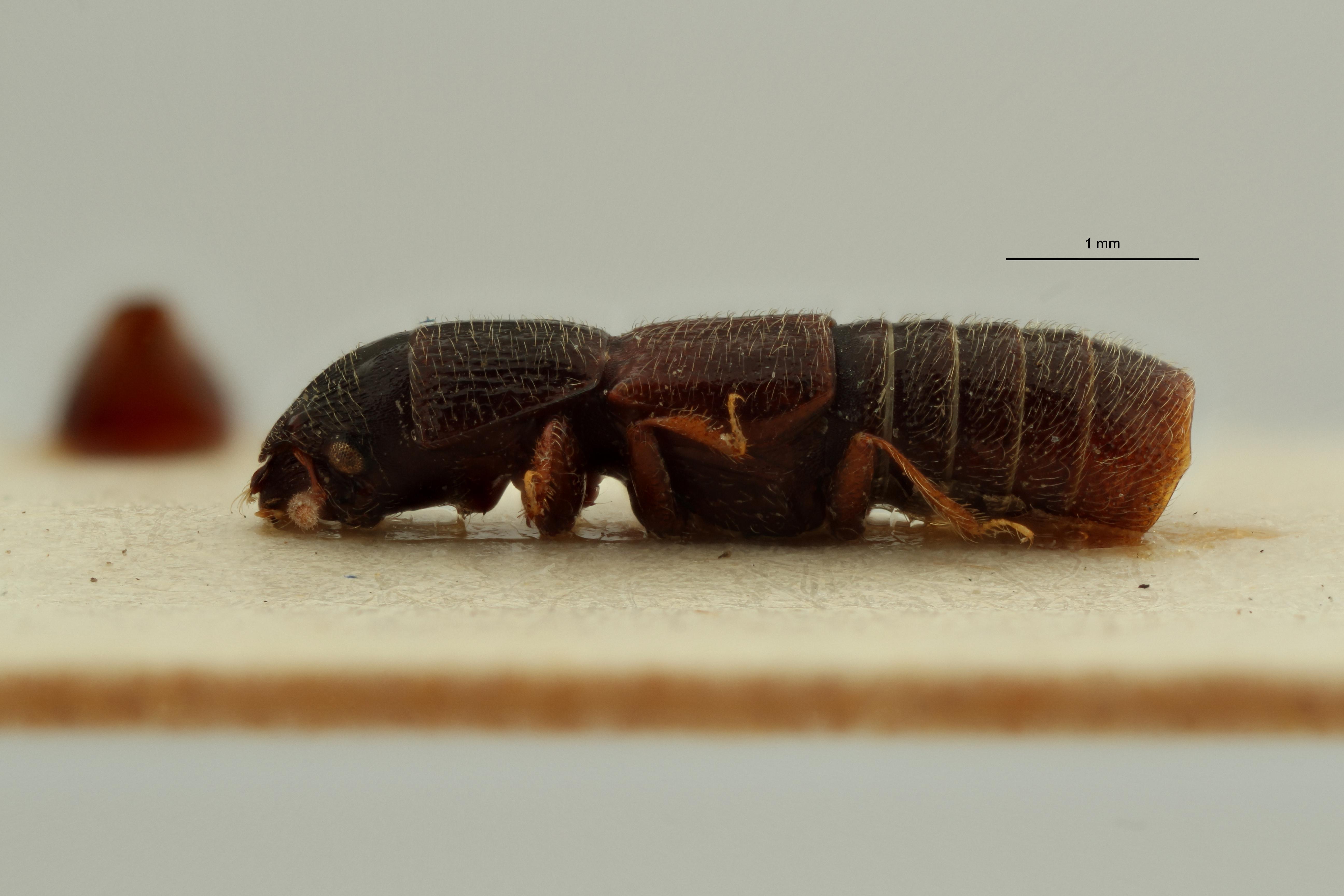 Neosorius ghanaensis pt L ZS PMax Scaled.jpeg