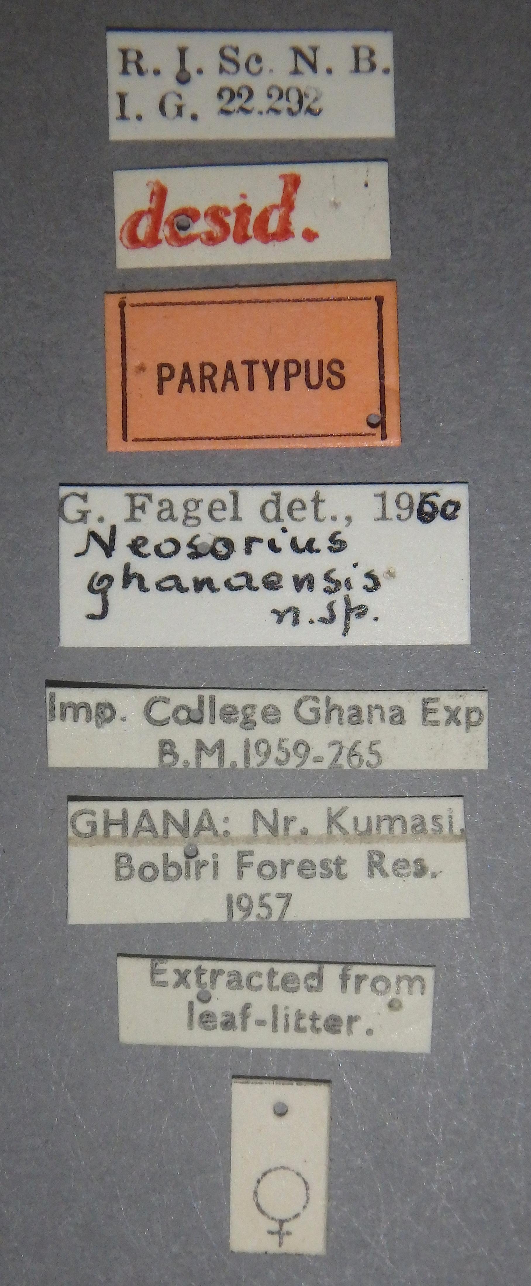 Neosorius ghanaensis pt Lb.JPG