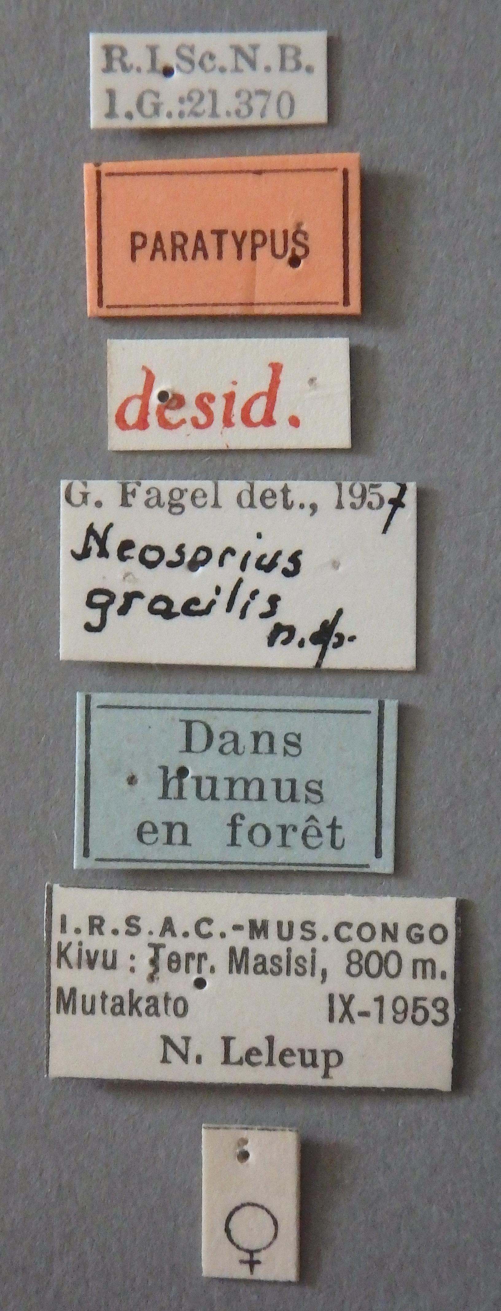 Neosorius gracilis pt Lb.JPG