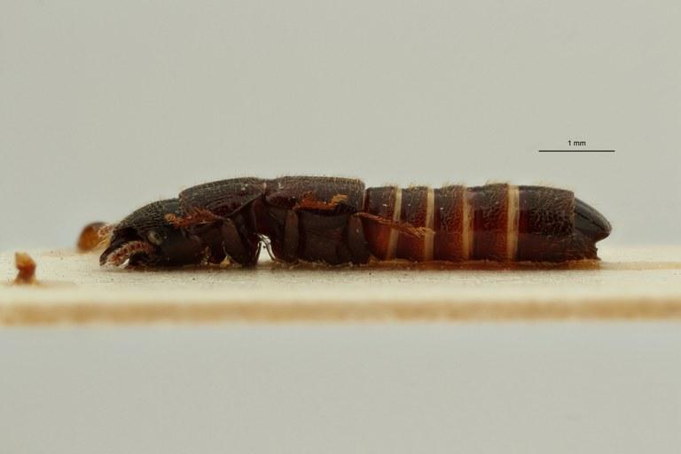 Neosorius incertus pt L ZS PMax Scaled.jpeg