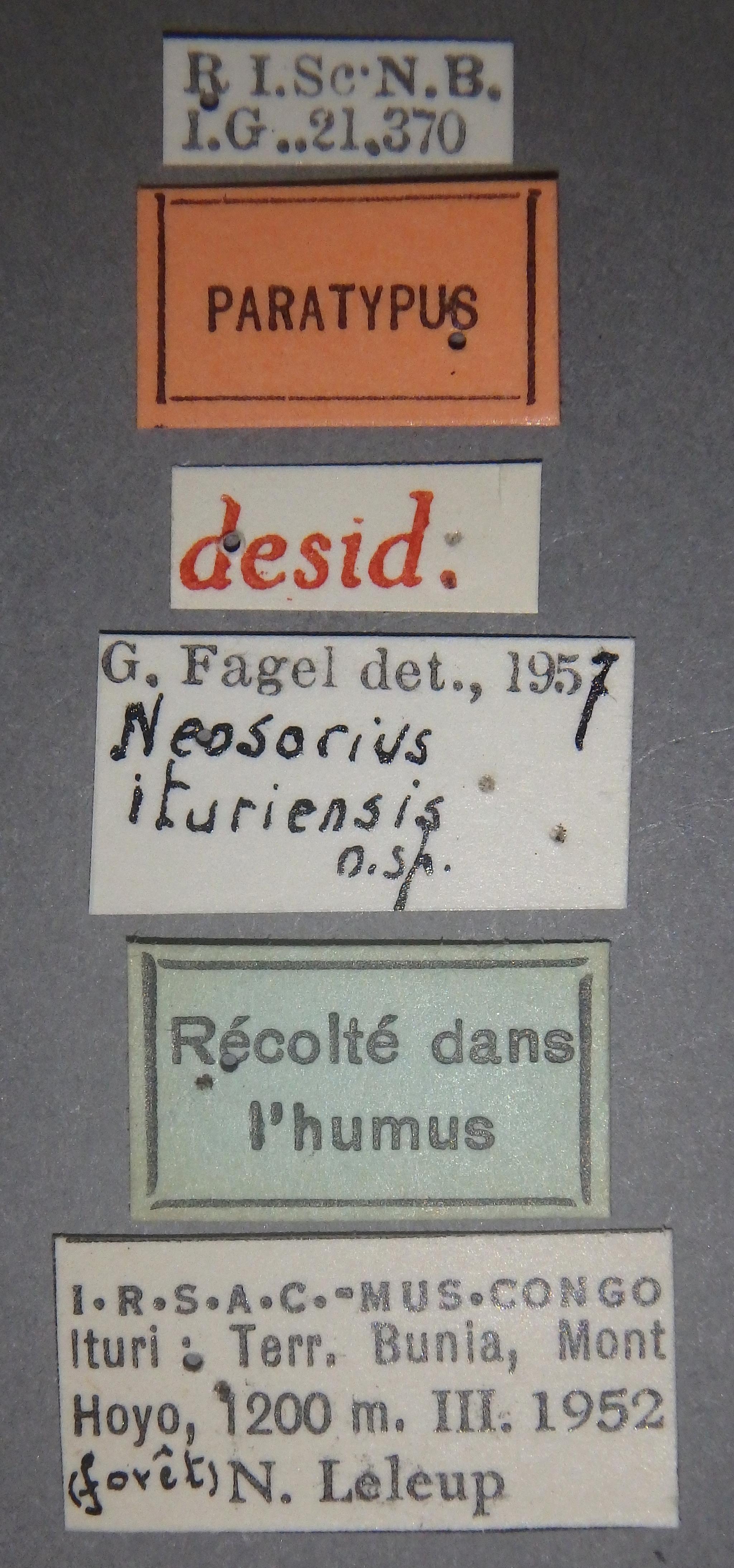 Neosorius ituriensis pt Lb.JPG