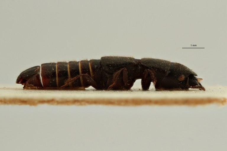 Neosorius leleupi pt L ZS PMax Scaled.jpeg